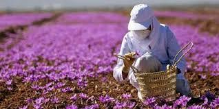 نابودی تدریجی مزارع زعفران
