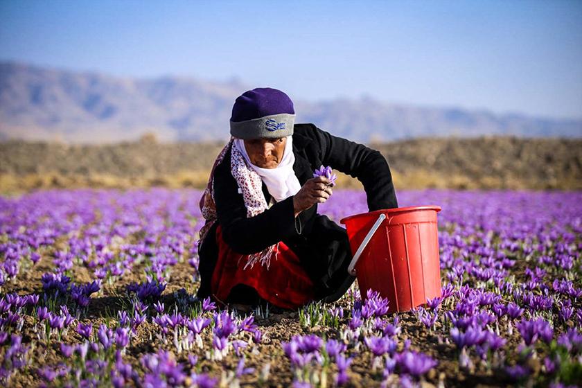 شورای ملی زعفران را صادرکنندگان تشکیل می دهند