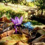 زعفران در پاییز