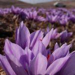 گل زیبای زعفران