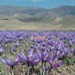 زعفران در کوهستان