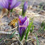 زعفران و زنبور عسل