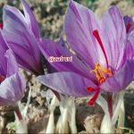 گل زعفران زیبا