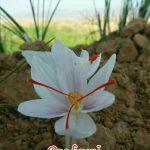 زعفران سفید