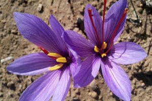 First class saffron rates