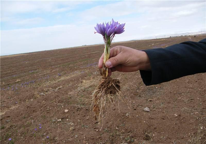 Saffron onion 1