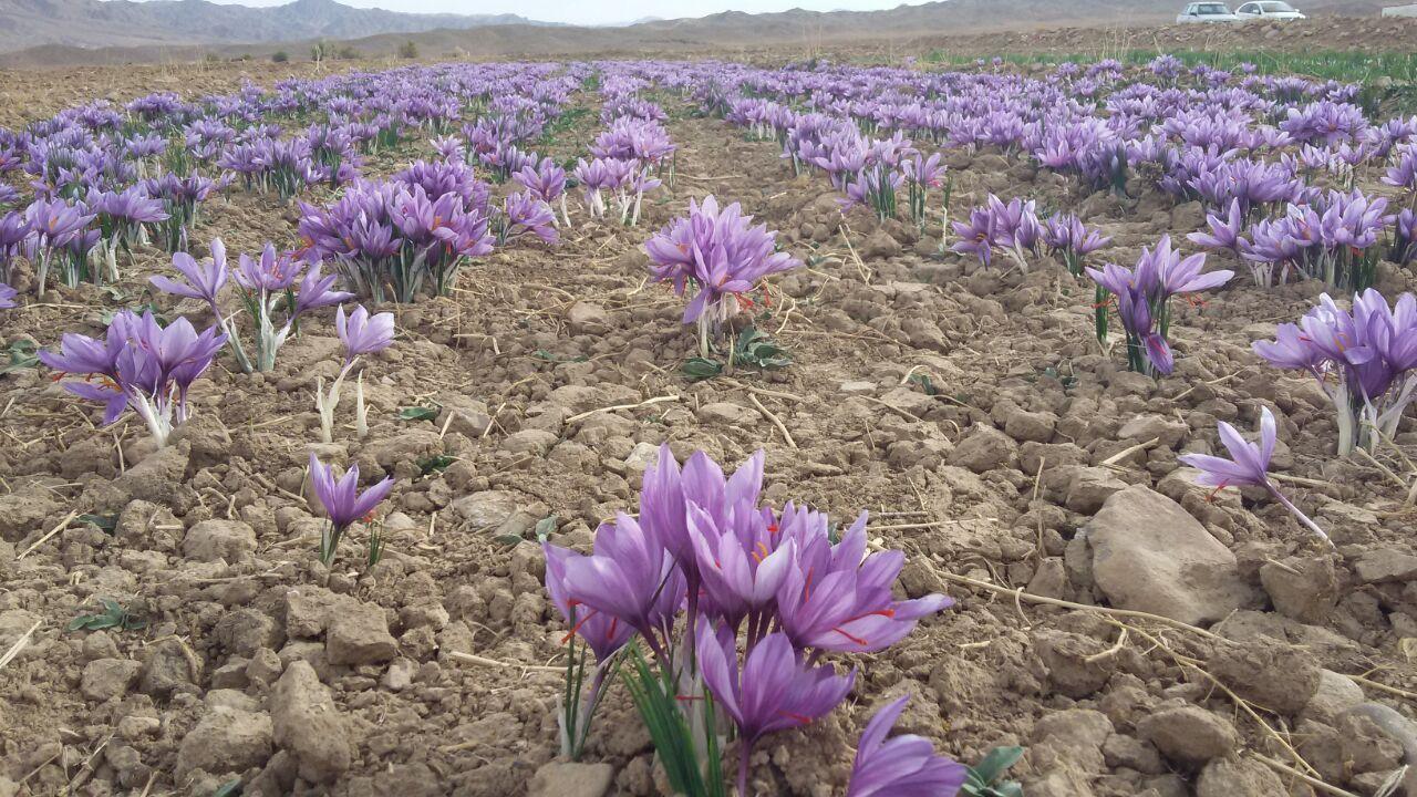Saffron onion