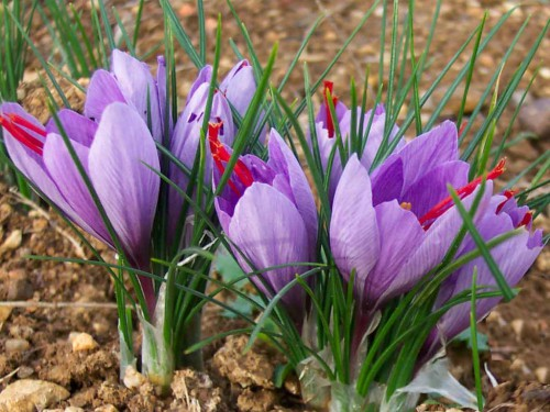 Causes of saffron yield loss 1