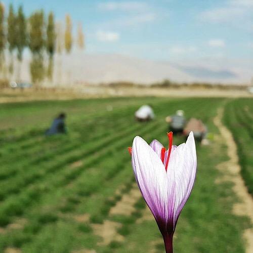 Mashhad saffron rate (2)