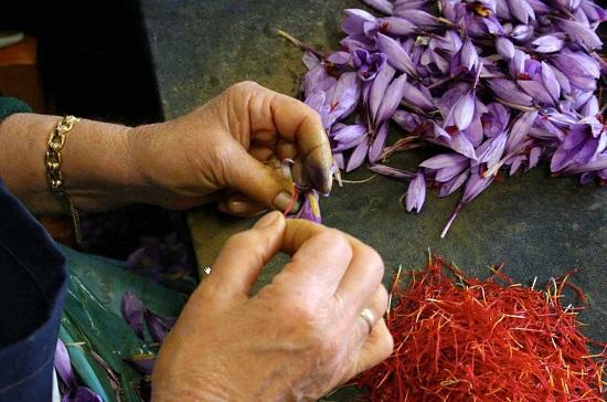planting saffron onions