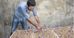 کاشت زعفران بدون خاک