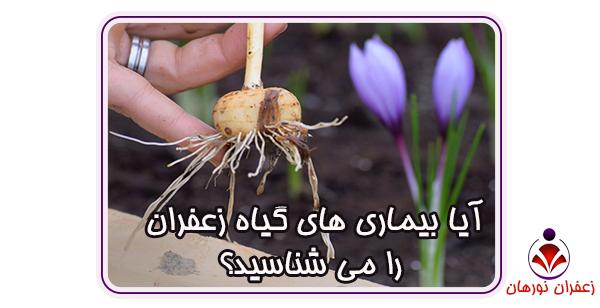 آیا بیماری های گیاه زعفران را می شناسید؟