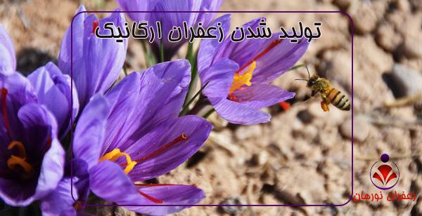 تولید شدن زعفران ارگانیک