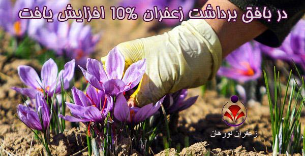 در بافق برداشت زعفران 10% افزایش یافت