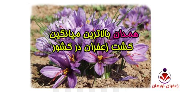 همدان بالاترین میانگین کشت زعفران در کشور