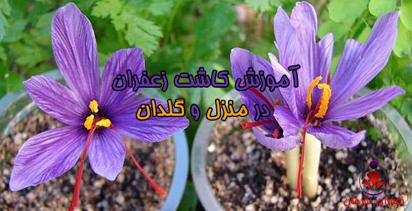 آموزش کاشت زعفران در منزل و گلدان