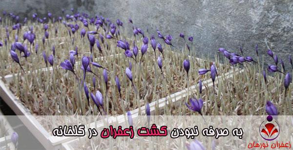به صرفه نبودن کشت زعفران در گلخانه
