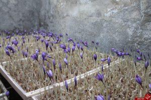 کشت زعفران با روش ائروپونیک