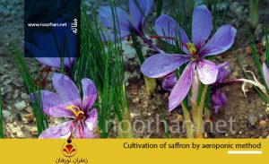 Cultivation of saffron by aeroponic method