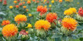 گیاه گلرنگ چیست ؟ گلرنگ گیاهی است 1ساله