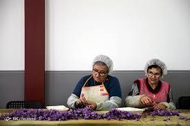 جشنواره برداشت زعفران در اسپانیا با تصویر